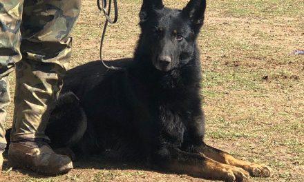 Bayabrio, en la Selectiva Centro de la XXIII Copa de España de Trabajo para Perros de Utilidad
